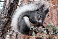 Abert's Squirrel   Abert's Squirrel, Sciurus aberti