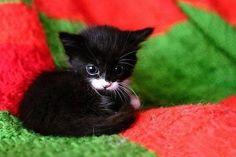 Petit Chaton Noir et Blanc