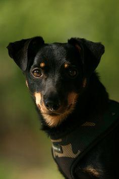 Lancashire Heeler. Originally, a cattle-driving dog.
