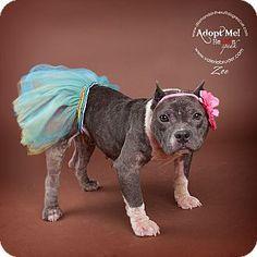 Glenolden, PA - English Bulldog Mix. Meet Zoe, a dog for adoption. http://www.adoptapet.com/pet/11310469-glenolden-pennsylvania-english-bulldog-mix