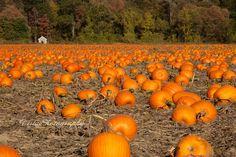 Pumpkin-field-in-autumn-2