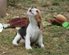 Beagles are especially cute puppies, love the face!