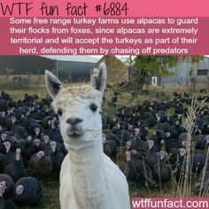 I watched a video of a guy that got hit by an alpaca and he said that it was so fluffy hahaha