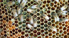Api che fanno il miele con la cannabis in resina - Giardinaggio fai da te & Better Living
