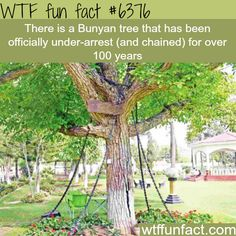 This tree is under-arrest.. And yes, it's actually true. It's a tree in Pakistan and it happened while the country was under British rule. A British army officer, James Squid, was intoxicated and thought the tree was moving toward him threateningly, so to teach it a lesson, he issued arrest warrants and the tree was actually chained.