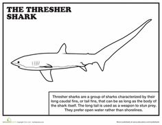 Worksheets: Thresher Shark Coloring Page