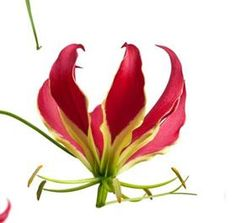 red gloriosa