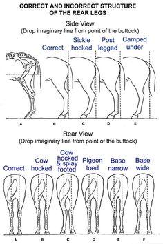 Rear leg conformation