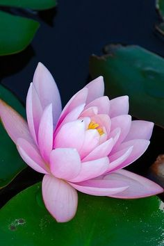 LOTUS.....PARTAGE OF WAW MALEE.....ON FACEBOOK......