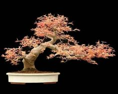 Semi-Cascade style Maple Bonsai in spring color. Acer Palmatum (Benichidori) <3