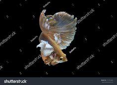 Beautiful movement of Halfmoon Betta Fish on a black background.