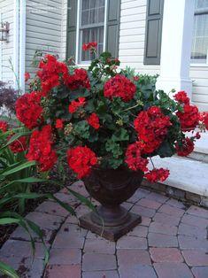 Perennials: Post your Geraniums in . Growing Geraniums, Red Geraniums, Growing Plants, Geranium Planters, Geranium Flower, Topiary Garden, Garden Pots, Outdoor Plants, Outdoor Gardens