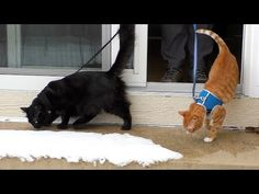 First Time Walking in the Snow for Cole and Marmalade - We Love Cats and Kittens