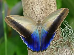 Forest Giant Owl Butterfly -- A group of South & Central America butterflies.