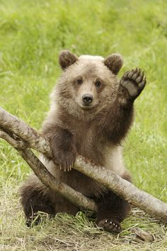 """Grizzly Cub Waving Hello!""  [An orphaned female grizzly cub that was rescued after the mom was killed.]~[Photograph by AlaskaFreezeFrame (Gary Lackie) - August 13 2006 - Alaska]'h4d'121102"