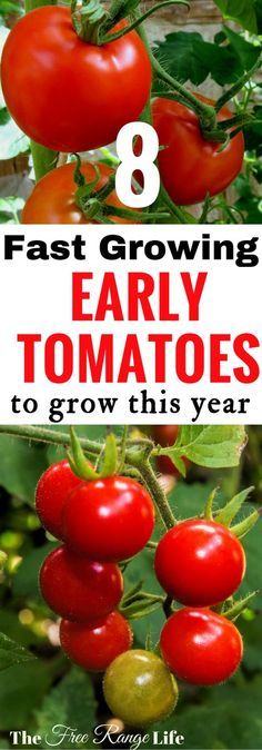 Whether you have a short growing season or are just an impatient gardener- try out these fast-growing, super early tomato varieties in you garden this year! You'll be harvesting before you know it!