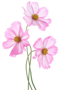 No garden is complete without some cosmos flowers. With their brightly coloured petals, cosmos add colour and life to gardens everywhere. Cosmos are perfect for the beginner gardener because they are so easy to grow and care for and are pest free. Flower Garden Drawing, Flowers Garden, Flower Gardening, Watercolor Flowers, Watercolor Paintings, Decoration Shabby, Cosmos Flowers, Garden Show, Amazing Flowers