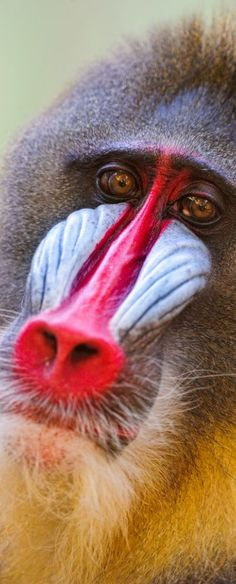 Male mandrill.  Doesn't he know to not put lipstick on his nose?!!