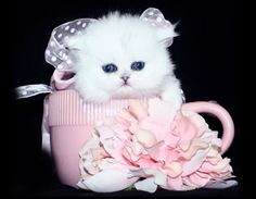 Teacup Persian Kittens – Doll Faced Chinchilla White Golden and Silver Persian Kittens