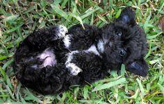 Shih tzu, Poodle, Bichon Mix, looks like a teddy bear! Bichon Poodle Mix, Chihuahua Mix Puppies, Shih Tzu Puppy, Cute Puppies, Cute Dogs, Dogs And Puppies, Bear Dogs, Shih Poo, Doggies