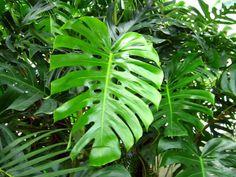 Le philodendron est un classique chez les plantes d'intérieur. Mais parlons plutôt des philodendrons. En effet, bien que tous soient des plantes vertes vivaces au feuillage très...