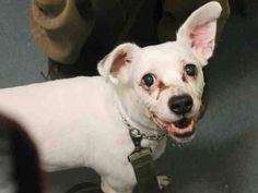 SUPER URGENT 03/01/15 Brooklyn Center BABY GIRL - A1029153 FEMALE, WHITE, BEAGLE MIX, 9 yrs OWNER SUR - EVALUATE, NO HOLD Reason COST Intake condition GERIATRIC Intake Date 03/01/2015 https://www.facebook.com/Urgentdeathrowdogs/photos/pb.152876678058553.-2207520000.1425246987./970190632993816/?type=3&theater