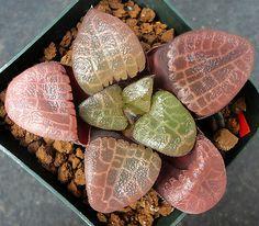 Houseplants That Filter the Air We Breathe Haworthia Correcta 'Toku Amime'