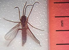 Fungus Gnats & Marijuana: Fungus gnats are quite commonly found at indoor cannabis gardens, and from time-to-time at outdoor gardens as well.