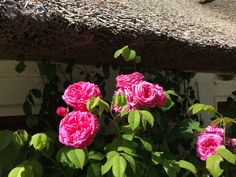 What better combination than bourbon roses and thatched cottages. Mme Isaac Pereire with such a heady scent. Cottage, Plants, Garden, Cottage Garden, Rose Cottage, Rose