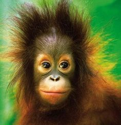 Sepilok Orang-utan Sanctuary, Sabah. Develop it is but we are known for our conservation of wildlife too.