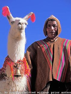 Bolivia. Altiplano. Quechua Indian salt caravaneer posing with ihis bell-equipped llama leader.