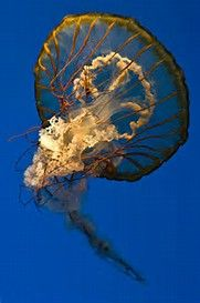 Do Jellyfish Have Brains? – Jellyfish are known for being distinct predators, and at the same time, they don't have a brain like other beings. They are regular organisms which are basic, but you will be quite impressed with their unique looks, that's for sure.