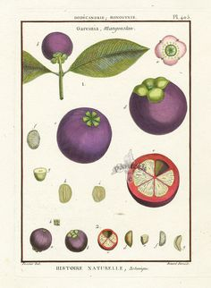 Lamarck Botanical Prints and palm prints from Histoire Naturelle 1790s Mangosteen