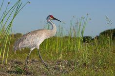 Sandhill Crane (Florida, USA)