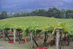 La vendimia ha comenzado en muchas de las bodegas integradas en la Ruta do Viño Rías Baixas, como As Laxas.