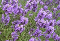You Can Use Lavender To Get To Sleep