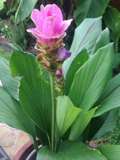 Pink Siam Tulip (curcuma alismatifolia): This plant appears to be curcuma , a tropical plant in the ginger family that has about 80 different species one of which is the spice called tumeric.  Curcuma  does well in partial sun to shade and fast draining soils.  It prefers consistently and evenly moist soil, but not too wet.  Apply a slow release balanced fertilizer for blooming flowers.   This is a tropical plant that will die to the ground in your area in the winter. It might return  in the…