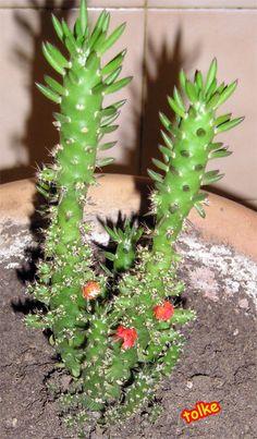 Opuntia subulata, Echinocactus grusonii, Echinopsis subdenudata, Notocactus buiningii - INFOJARDIN