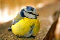 Metal Magnet Blue Tit Bird Birds Travel Estonia Yellow Blue Gray Magnet X Pretty Birds, Love Birds, Animals And Pets, Cute Animals, Images Gif, Blue Tit, Little Birdie, Bird Feathers, Bird Houses