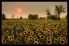 sunflowers #topaint
