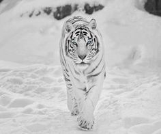 Tigre siberiana discovered by Barbara on We Heart It Beautiful Creatures, Animals Beautiful, Cute Animals, Beautiful Cats, Baby Animals, Beautiful Pictures, Panthera Tigris Altaica, Snow Tiger, Tiger Wallpaper
