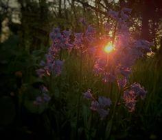 Bluebells in the morning sun.