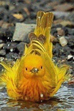 Yellow Warbler Taking A Bath / projectfeederwatch.wordpress.com