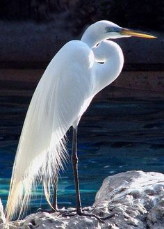 Great Egret in breeding plumage posted in The Beautiful Great Egret via blog.duncraft.com