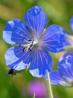 Meadow Cranesbill: Geranium pratense - Flickr - Photo Sharing