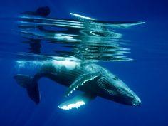 ザトウクジラの子  Photograph by Phil Cothran, My Shot  テーマ: 動物  この好奇心の強い子クジラは、ぶつかりそうなところまで私の方に泳いできた。そのため水の中で満足な撮影の体勢をとることができなかった。