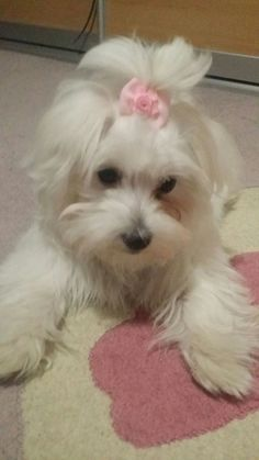 Maltese Rea at 4 month Cute Bows, Poodles, Maltese, Dog Grooming, Dogs And Puppies, Toy, Animals, Pet Dogs, Animales