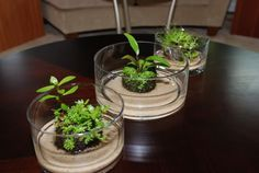 Emersed growth trial....wabikusa - Page 3 - Plant Physiology & Emersed Culture - Aquatic Plant Central