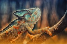 Awesome photo of a chameleon.