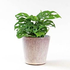 Monkey Mask Monstera | Monstera adansonii – Bloombox Club Best Indoor Plants, Cool Plants, Paddle Plant, Marble Queen Pothos, Neon Pothos, Monkey Mask, Chinese Money Plant, Plants Delivered